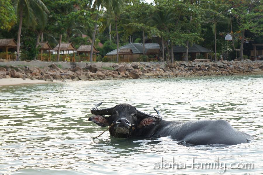 Буйвол в море - такую картину не каждый день увидишь даже в Таиланде