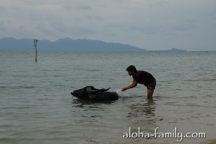 Человек моет буйвола в водах Сиамского залива