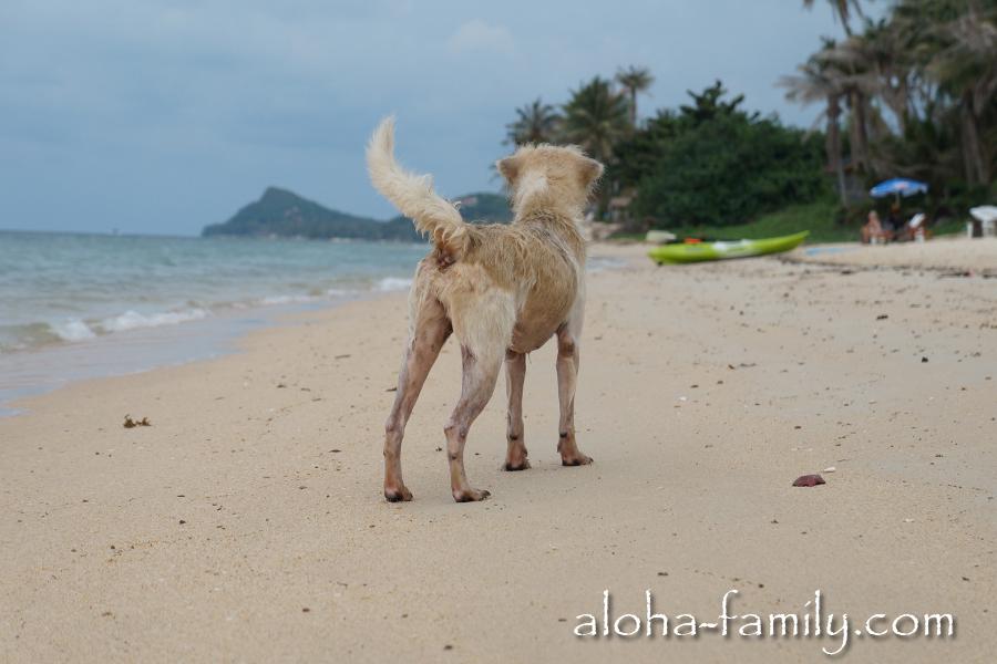 На Банг По мы видели много бродячих псов, но агрессивных среди них не попадалось