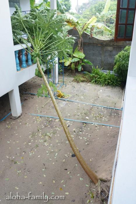 После ночной бури бедную папайю повалило ветром и дождём