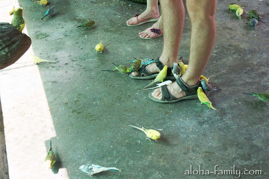 Кореллы и волнистые попугаи в Парадайз парк Самуи совершенно ручные! В вольере с ними главное смотреть под ноги!