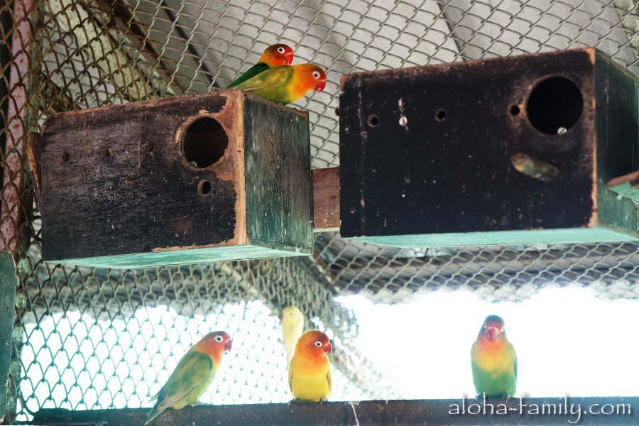 Неразлучники ведут себя гораздо осторожнее волнистых попугаев, и в руки людям не даются!