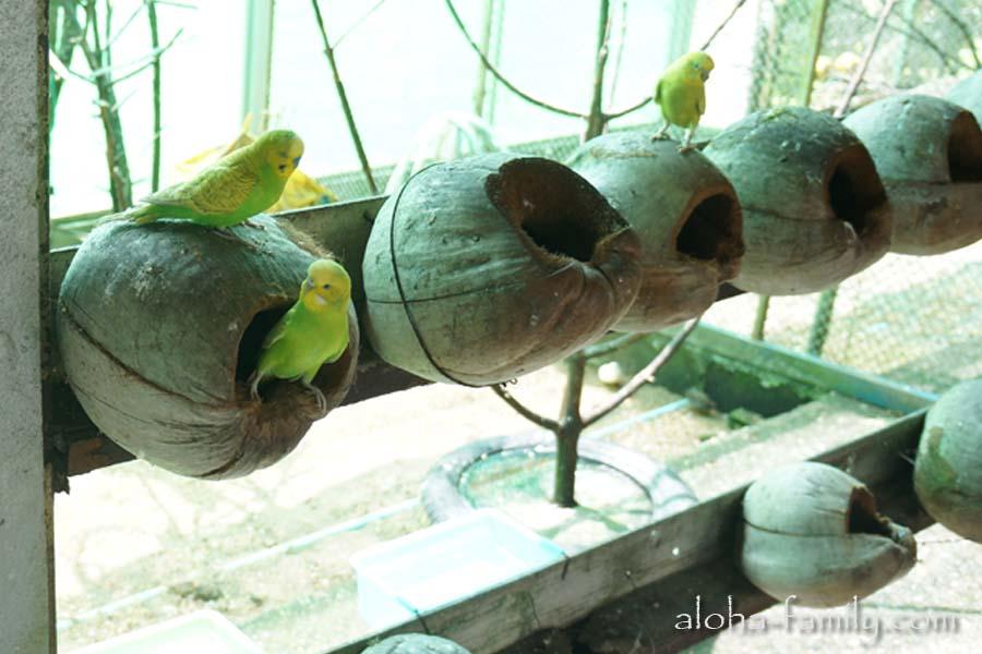 Живут волнистые попугаи в домиках из кокосов
