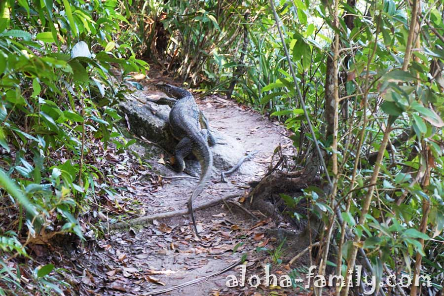 Двухметровый полосатый варан в диких джунглях Малайзии способен испугать любого