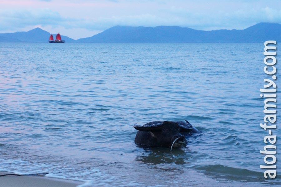 Буйвол купается в море на Маенаме