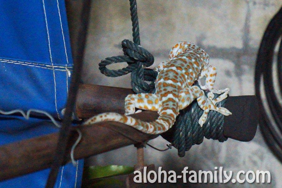 Красивый тайский геккон токай в пятнах гуляет по нашей веранде