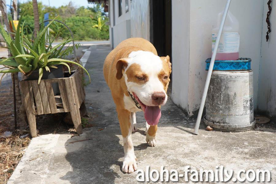Муджан - крутая, но опасная собака нашего арендодателя
