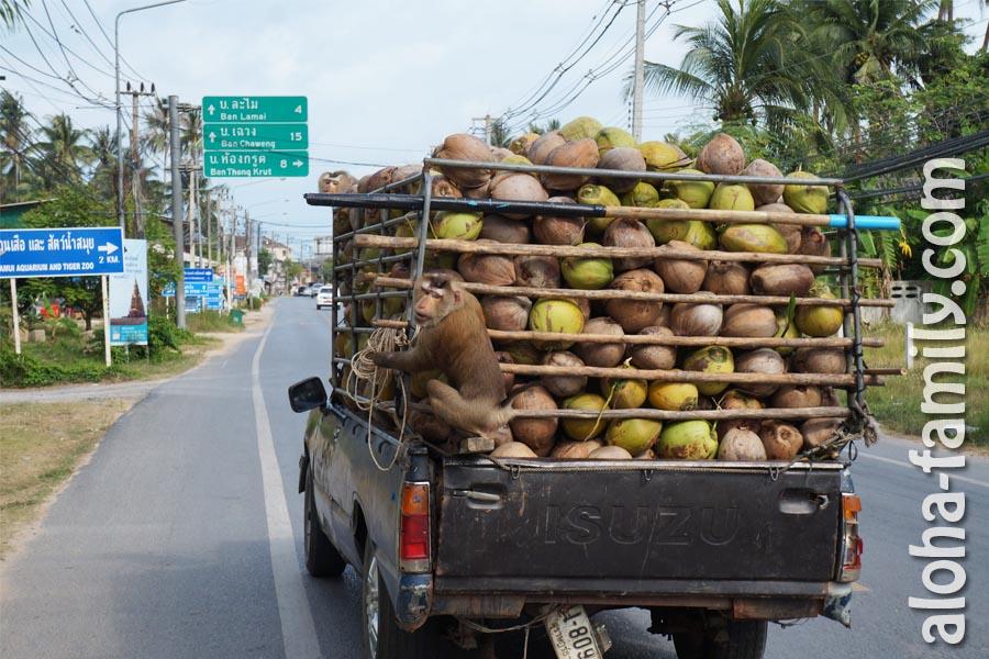 Обезьяны едут в пикапе на кокосах