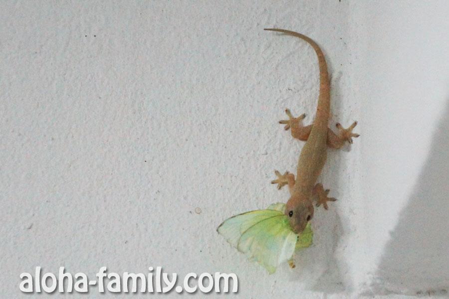 Самый обычный тайский геккон с бабочкой в зубах