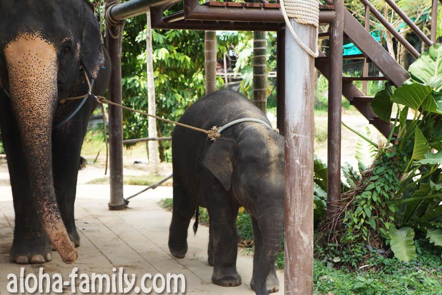 Слонёнок гуляет с мамой на Самуи