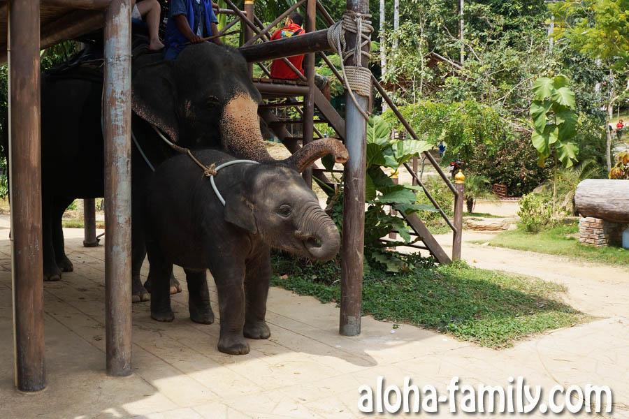 Слонёнок на Самуи кушает банан