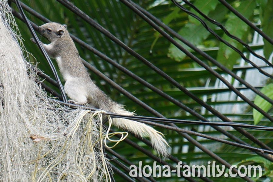 Тайская белочка прыгает по проводам возле нашей веранды