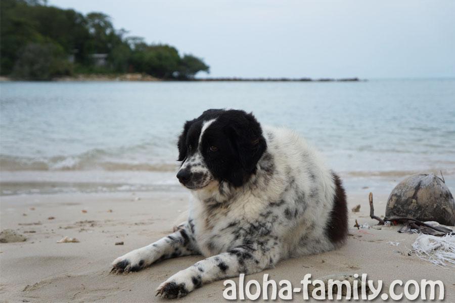 Типичная круглая собака живет на пляже Чонг Мон