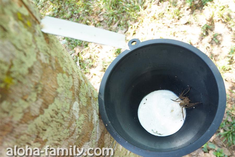Сок гевеи стекает по трубочке в ведёрко - это и есть будущий латекс... А паук в него упал(