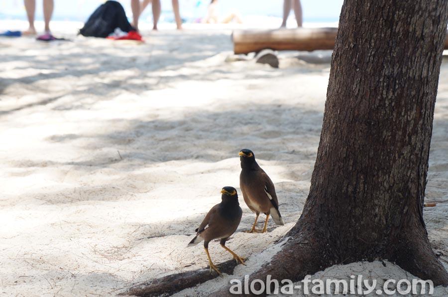 Наглые местные птички на Bamboo Island глаз не сводят с нашего обеда