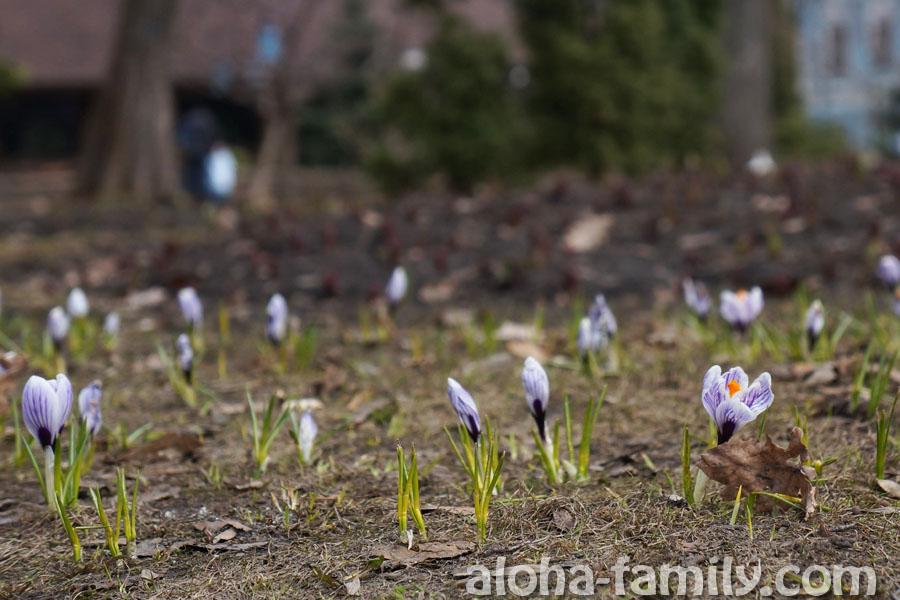 Очаровательные весенние цветы в парке Т.Г.Шевченко