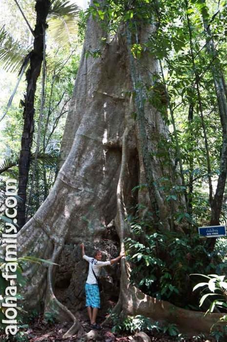 Одно из тысячелетних деревьев в долине на Краби