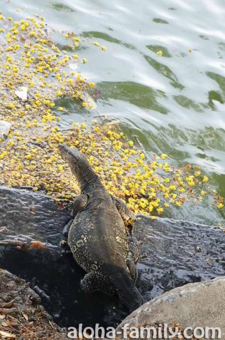 Судя по размерам живота этого варана из парка Люмпини, он только что съел крокодила))))