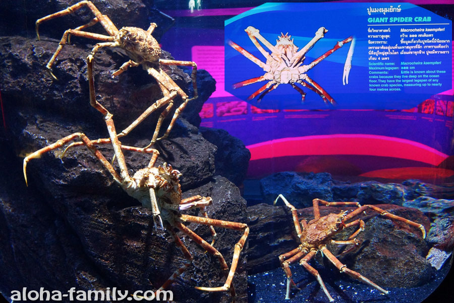 Гигантский краб-паук (японский краб-паук) живёт 100 лет на глубине до 600 метров