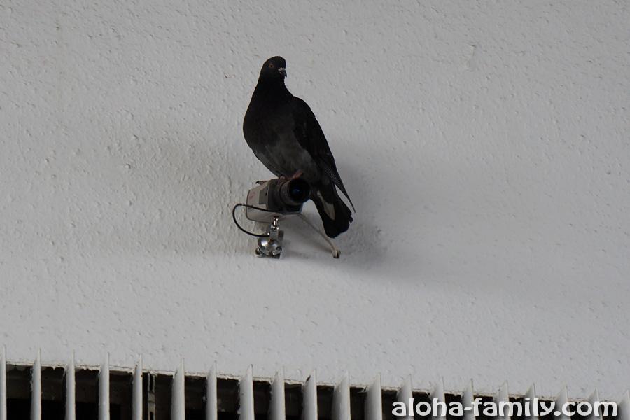 Луганский вокзальный голубь-охранник