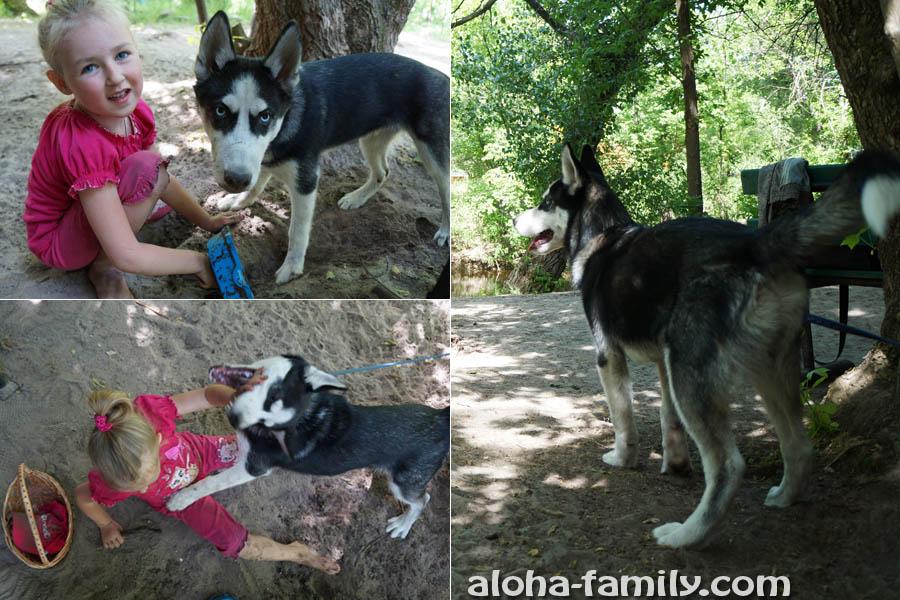 Наша подруга Влада и её пёс породы хаски, Тамерлан