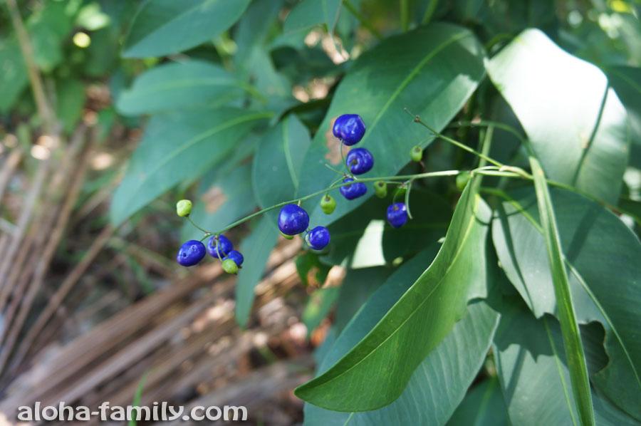 Неведомые синие ягоды в горах на Самуи