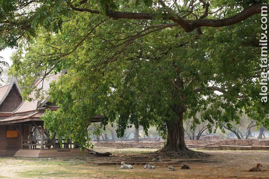 Под огромными деревьями парка в Аюттайе прохлаждается множество собак