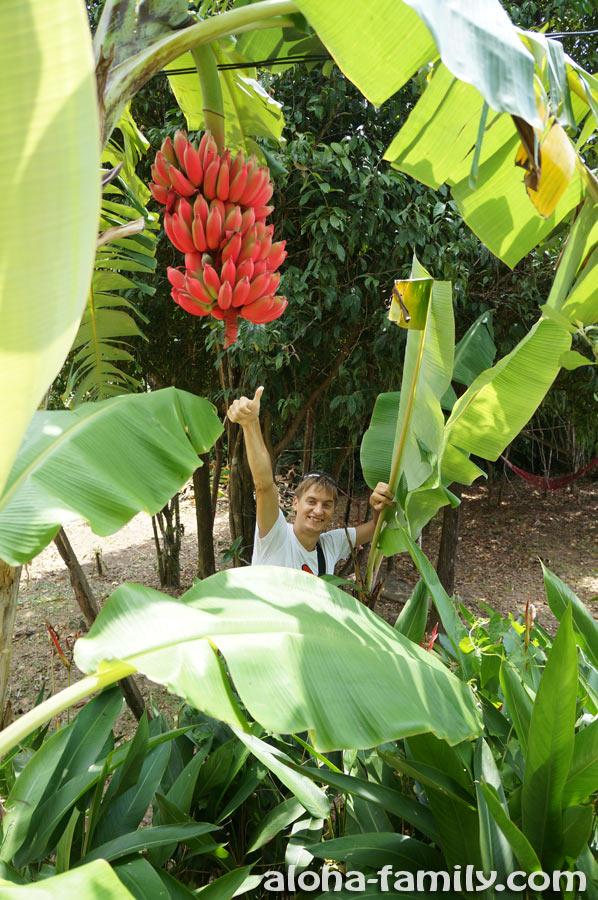Красные бананы, растущие на дереве