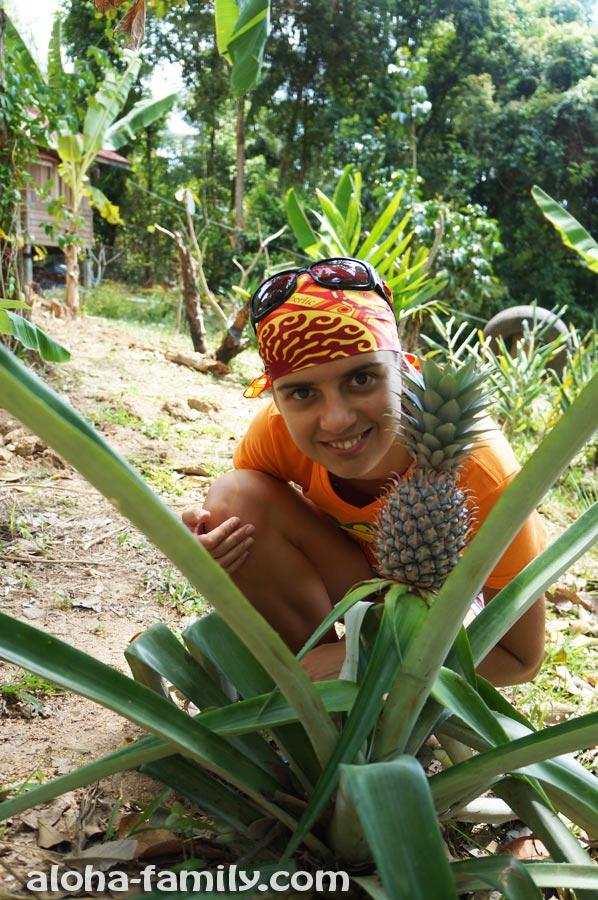 Одиноко растущий ананас на Самуи