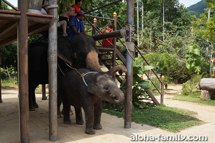 Слониха и слонёнок на Самуи