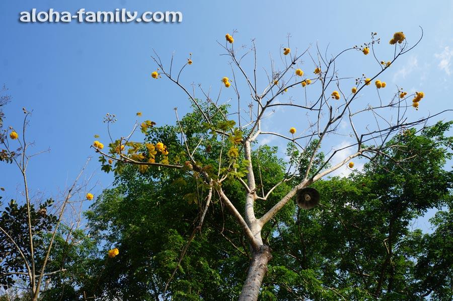 Дерево с необычными жёлтыми цветами