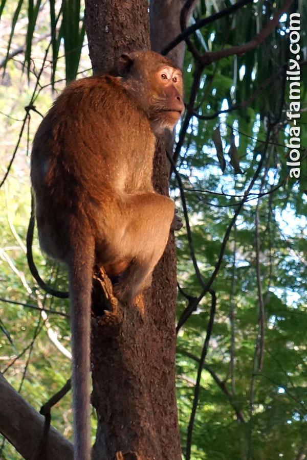 Судя по всему, вожак стаи обезьян