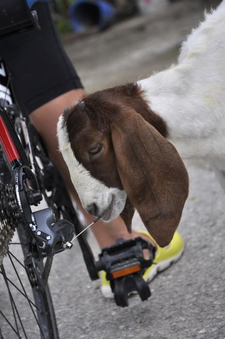 Что-о-о? Коза надувает колесо велосипеда? О_о