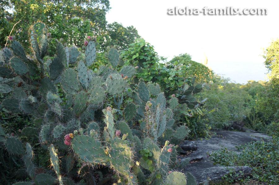 Последнее, что я заснял (убегая от комаров) - заросли диких кактусов за спиной у Будды)