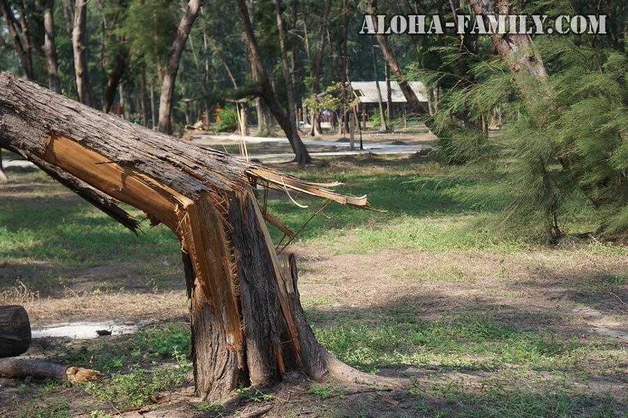 Погнутые и поломанные деревья в Хуа Хине - не редкость