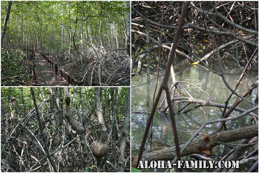 В гуще мангрового леса
