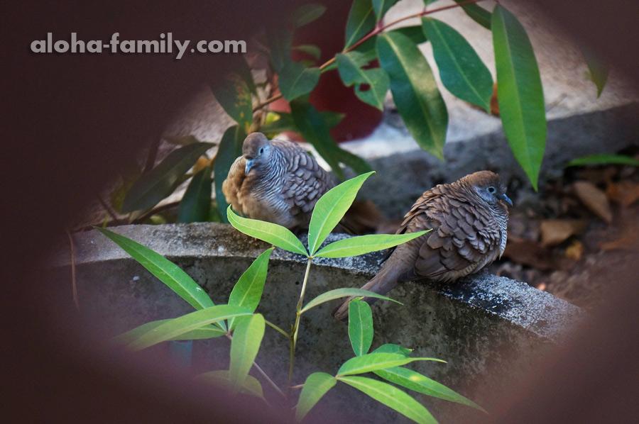 Влюблённые птицы в парке Ампхавы