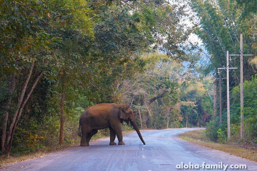 Увидеть дикого слона, который разгуливает по проезжей части в Таиланде - бесценно!