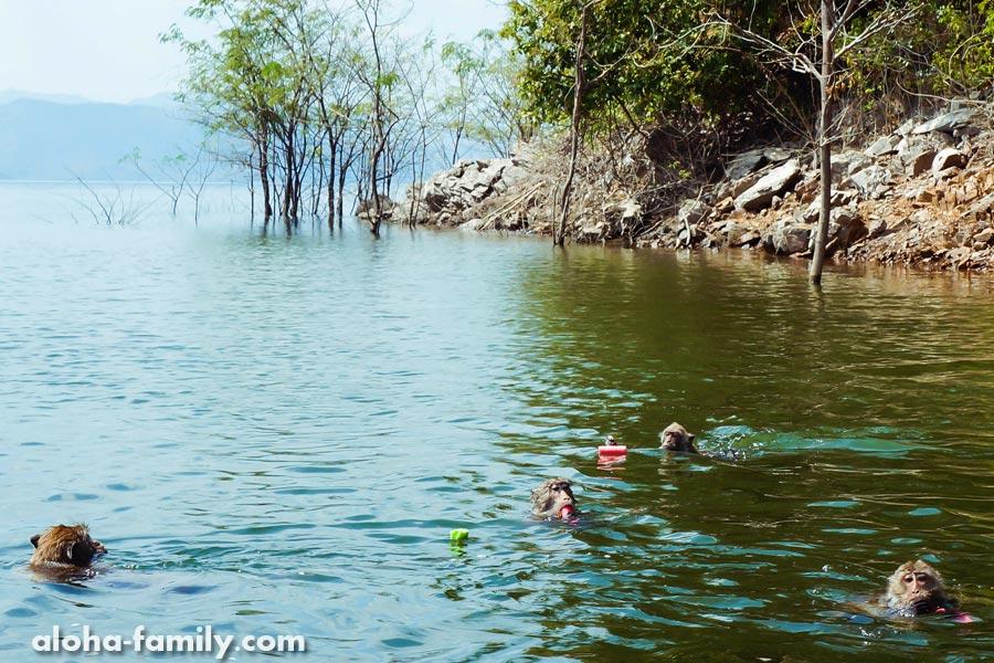 Чтобы выманить приматов в воду - нужно разбросать побольше еды