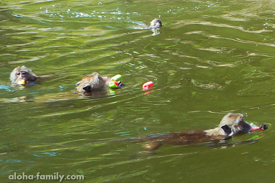 Обезьянки умеют плавать, и очень хорошо!
