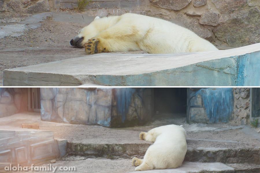 Белый медведь в +35