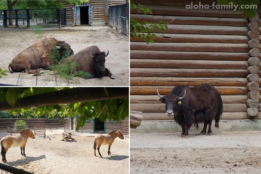 Большие травоядные - американские бизоны, як и лошадь Пржевальского