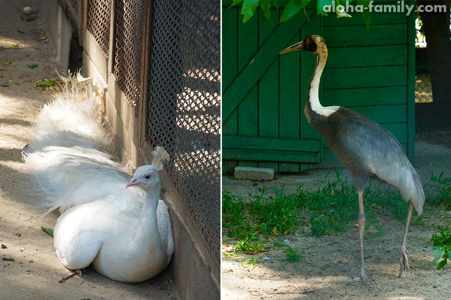 Даурский журавль и белый павлин