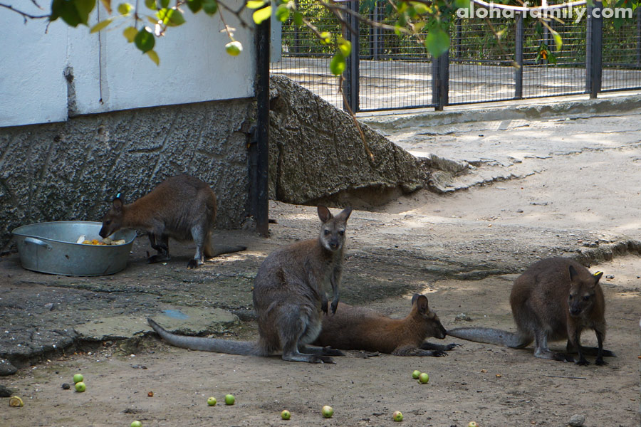 Кенгуру оказывается едят яблоки