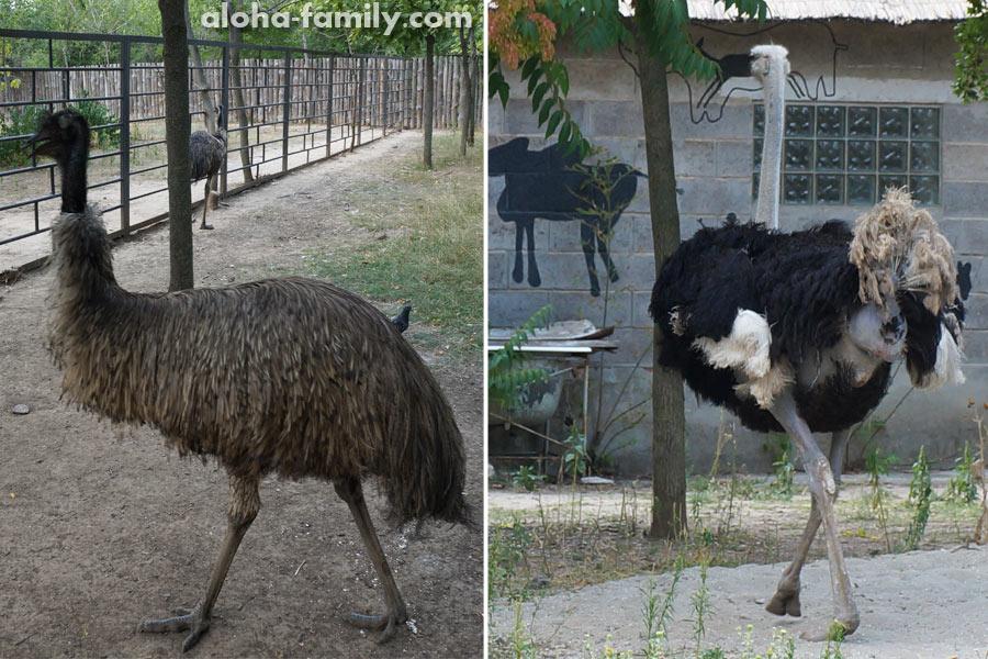 Страусы Эму (слева) и Африканский (справа)