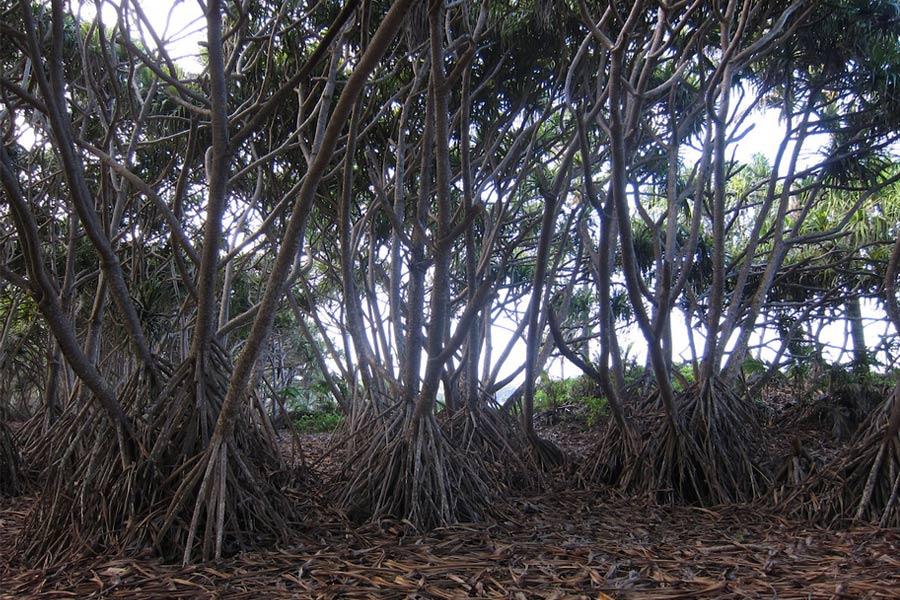 Необычные деревья Пандан