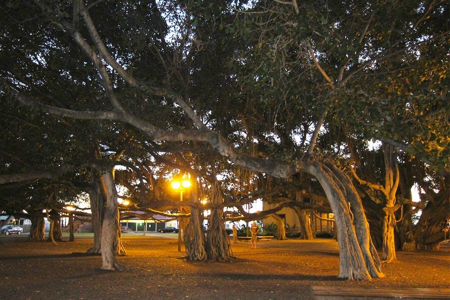 Знаменитое дерево баньян (это все одно дерево!!)
