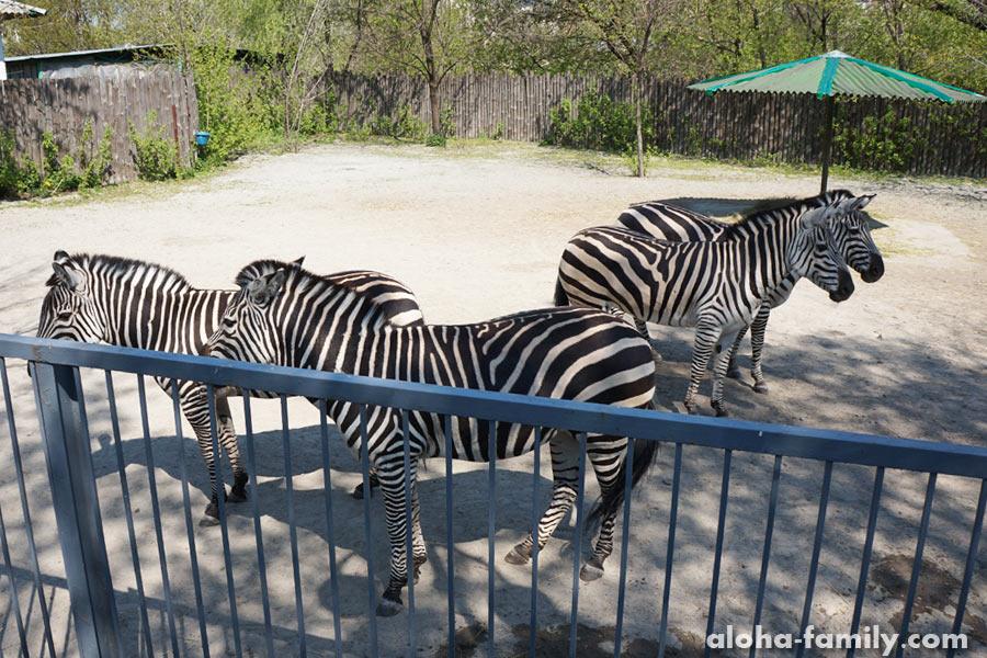А вот зебры - это лошадки стопроцентные))
