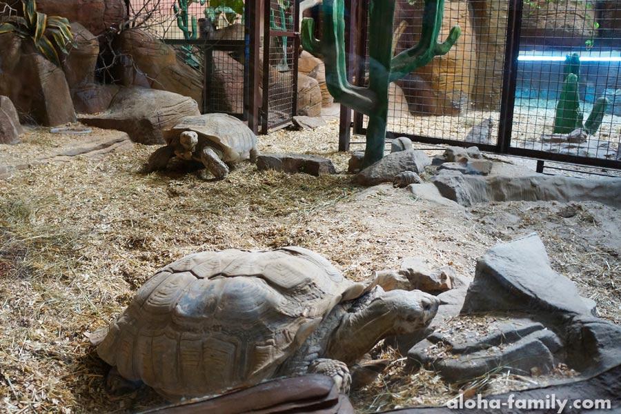 Шпороносная черепаха