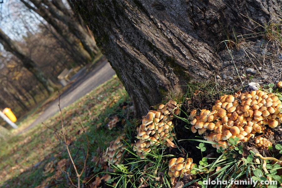 Опеньки растут прямо в парке
